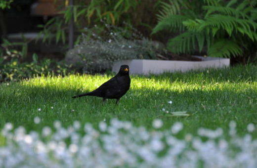 Blackbird in the meadow