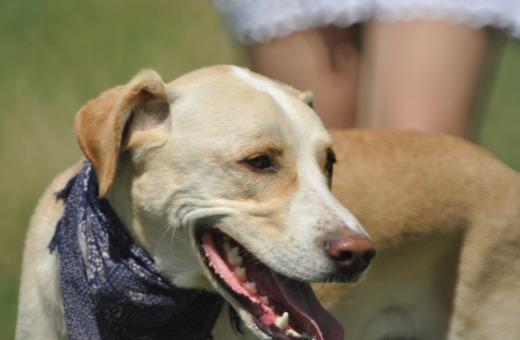 Labrador mix with bandana and girl