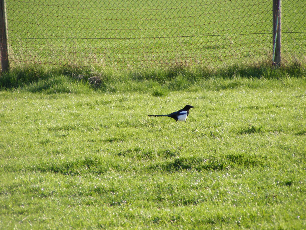 Magpie on meadow