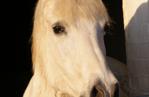 White horse looking out of shed
