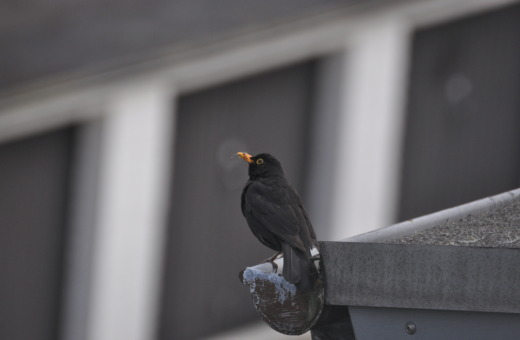 Blackbird on the gutter No.2