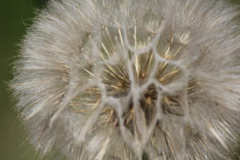 Dandelion in detail