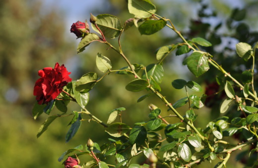 Red roses in the sun No.1