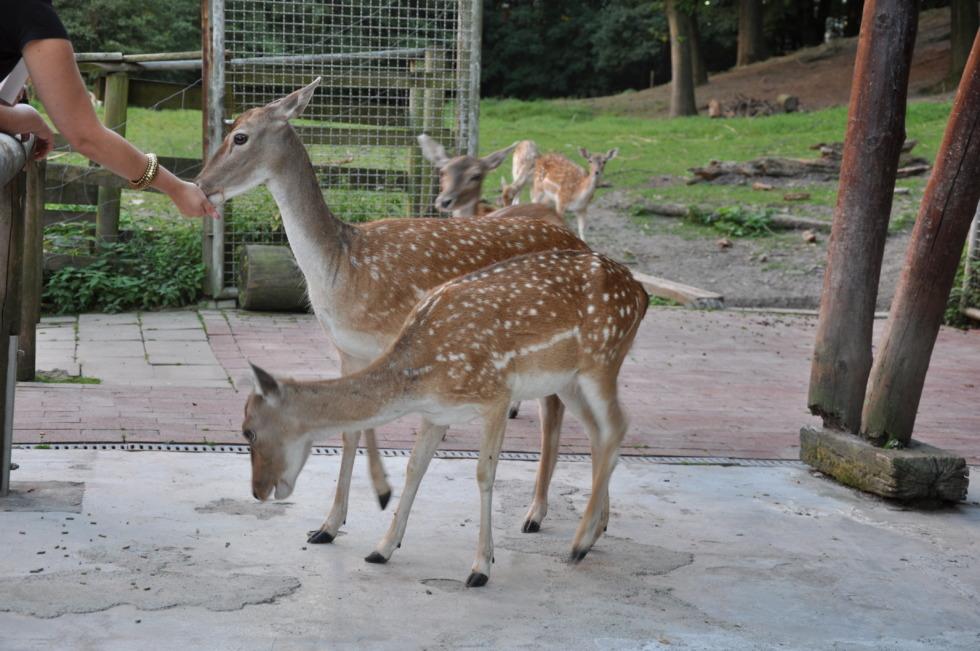 Feeding deers