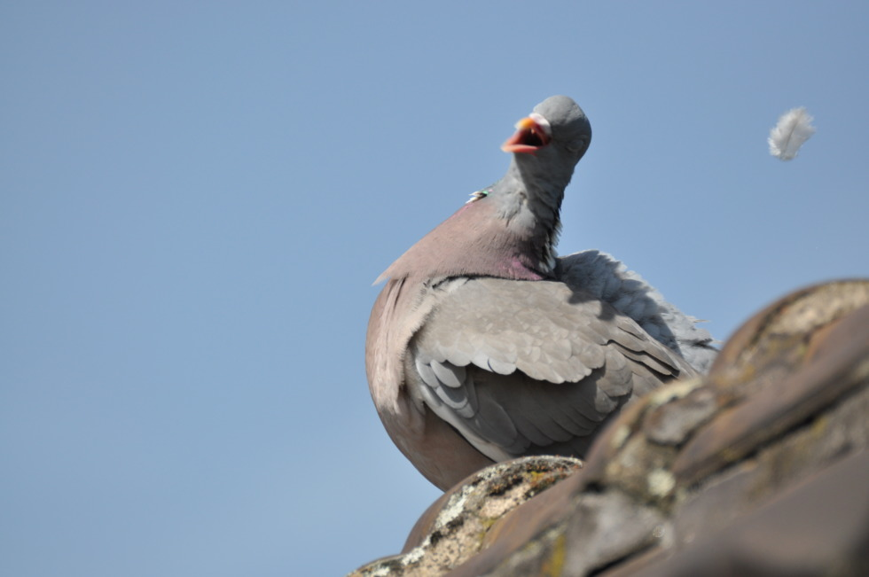 Singing pidgeon