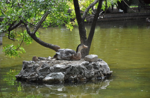 Wild goose on artificial island