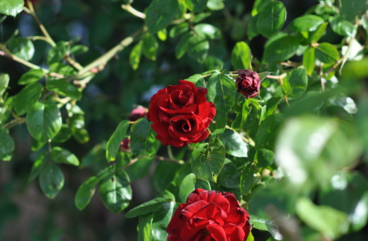 Red roses in the sun No.2