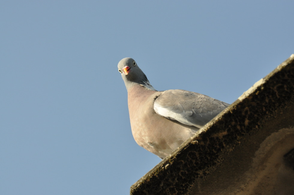 Pigeon looks down to you