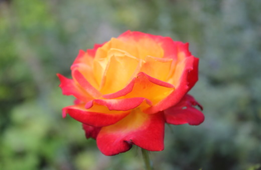 Red-orange rose in detail