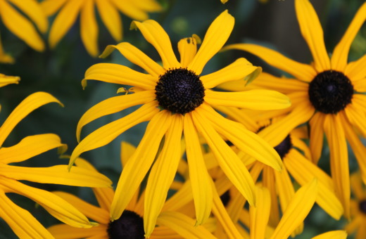 Rudbeckia flowers in detail
