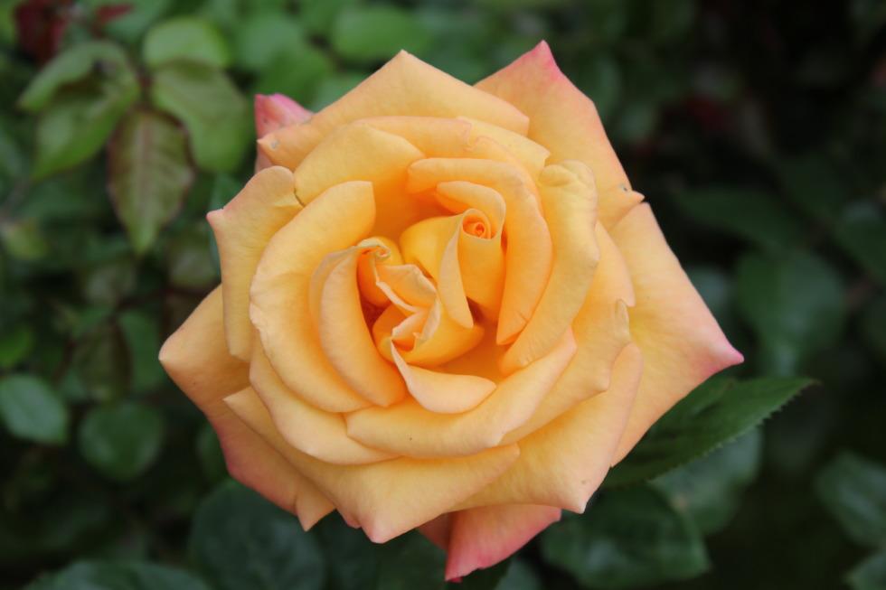 Single orange-yellow rose