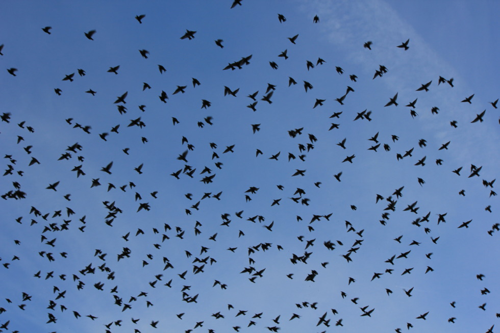 Huge flight of swallows