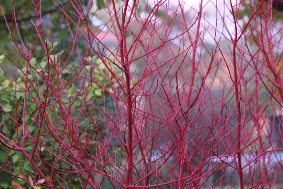 Red limbs of dogwood