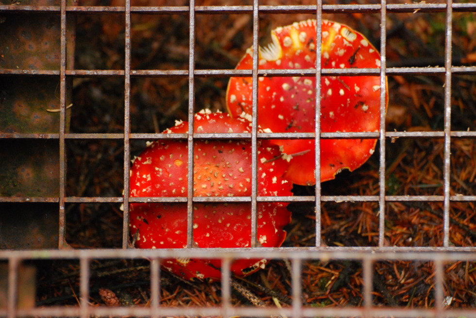 Fly agarics under a stair