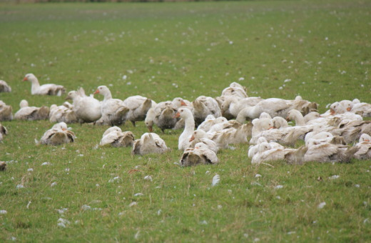 Group of geese on a meadow