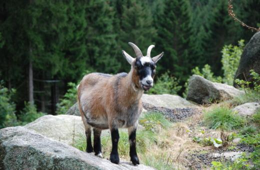 Harz goat at Kästehaus