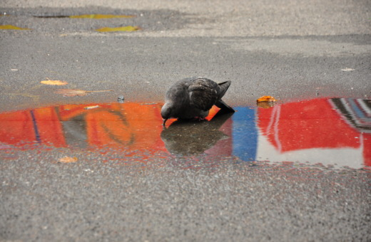 Pigeon drinks from a puddle mirroring a graffiti