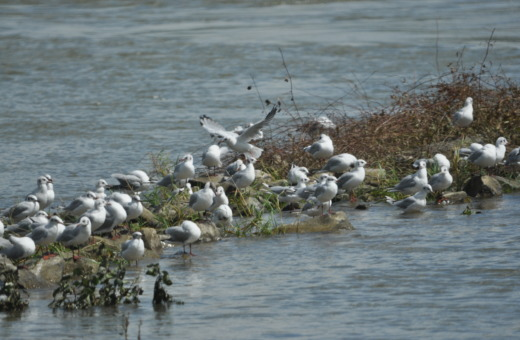 Seagulls on the Rhine
