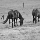 Black horses grazing