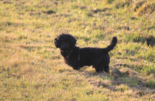 Black poodle-mix in the sun