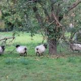 Rams below an apple tree