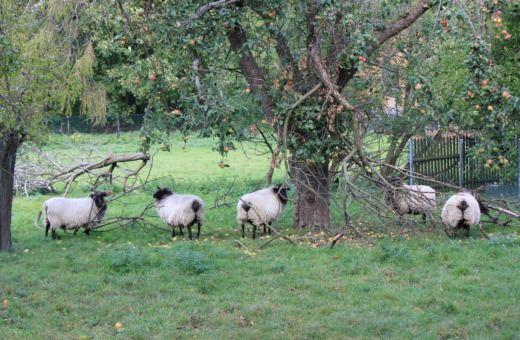 Rams below an apple tree