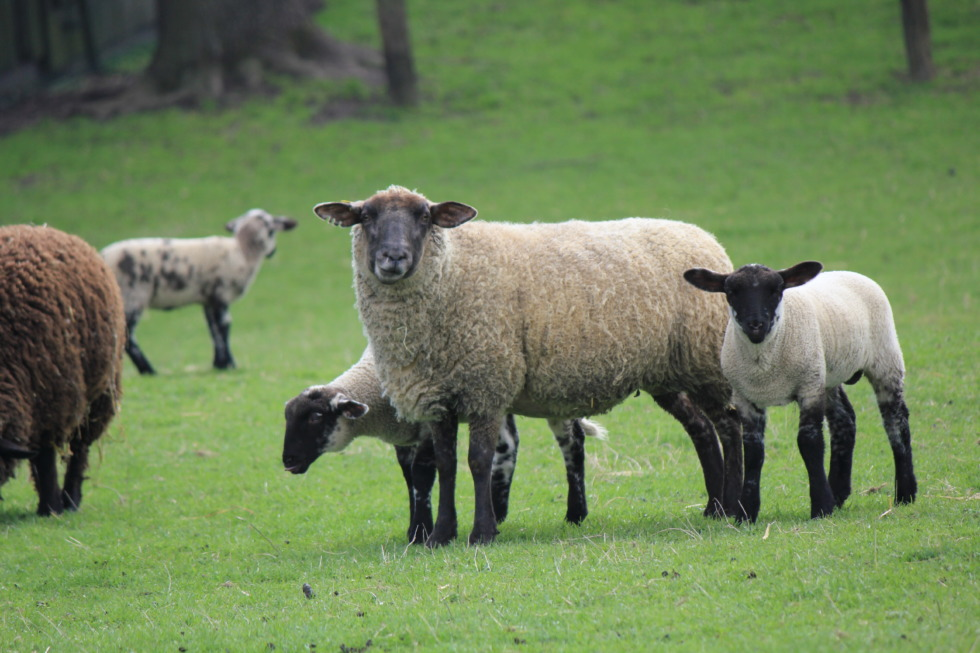 Sheep family with lambs