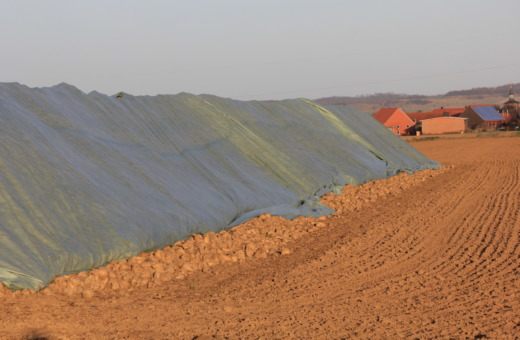 Turnip field near Bredelem