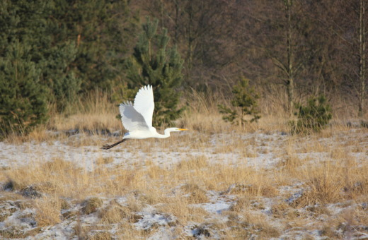 Flying white heron