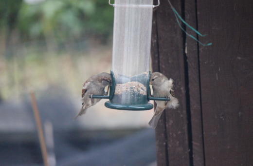 Sparrows eating birdseed