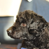 Black poodle mix in detail
