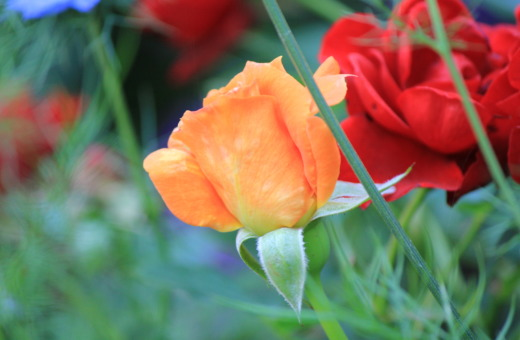 Orange and red rose