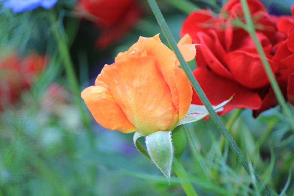 Orange and red rose