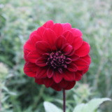 Red elegeant zinnia flower