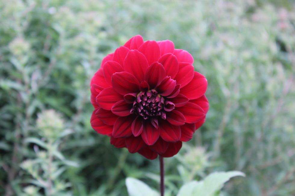Red elegeant zinnia flower