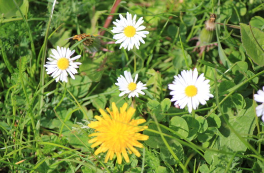 Daisies and dandelion
