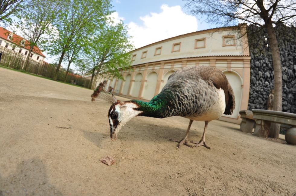 Peacock picking food
