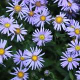Purple asters