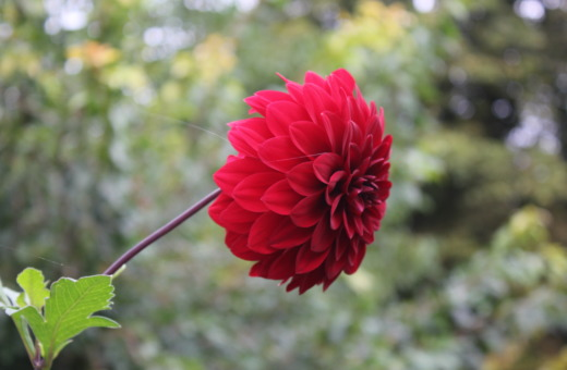 Single red zinnia blossom