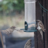 Sparrows sit on food dispenser