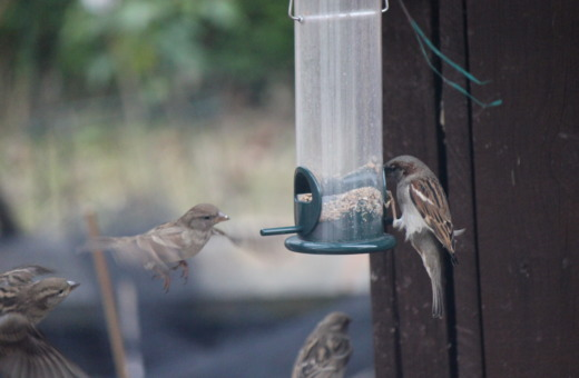 Sparrows sit on food dispenser