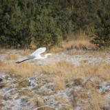 White heron gliding through the air