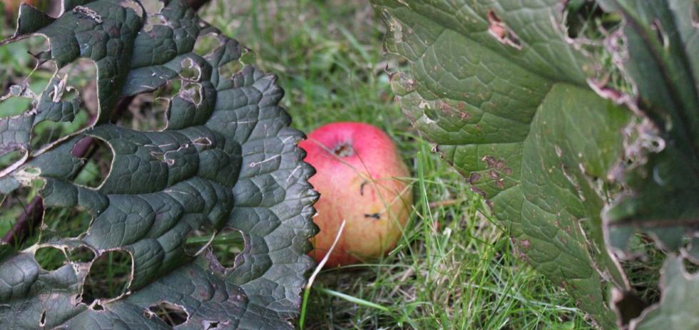 Apple between pieplants