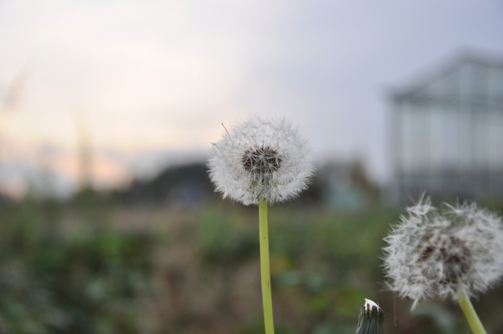 Blowballs in focus