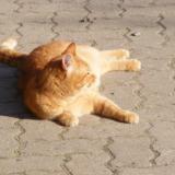 Fluffy orange cat