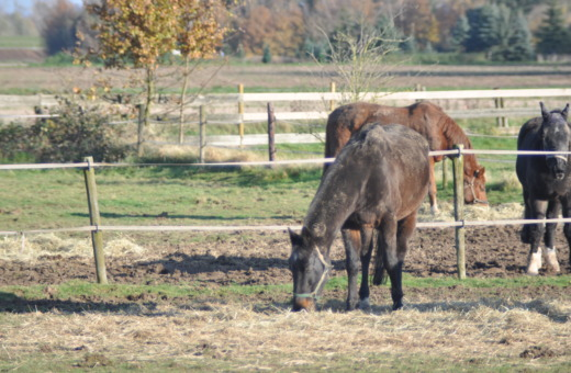 Brown horses staying on the paddock