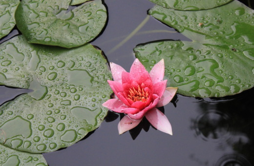 Thriving water lily