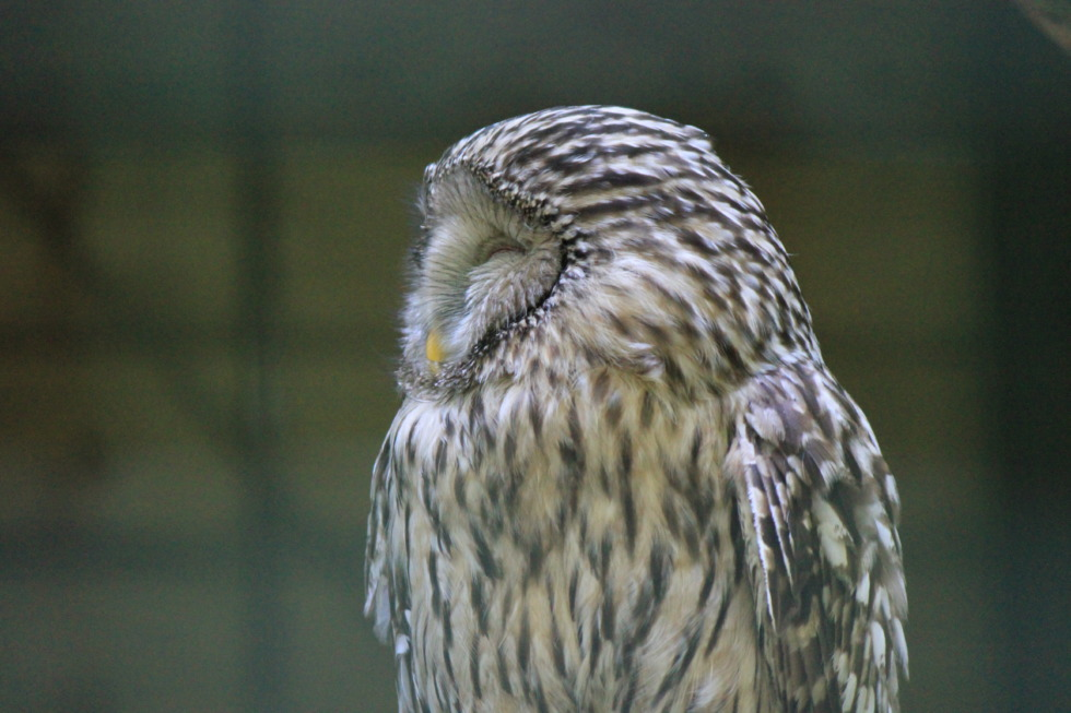 Barred owl from side