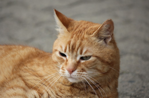 Orange grumpy cat