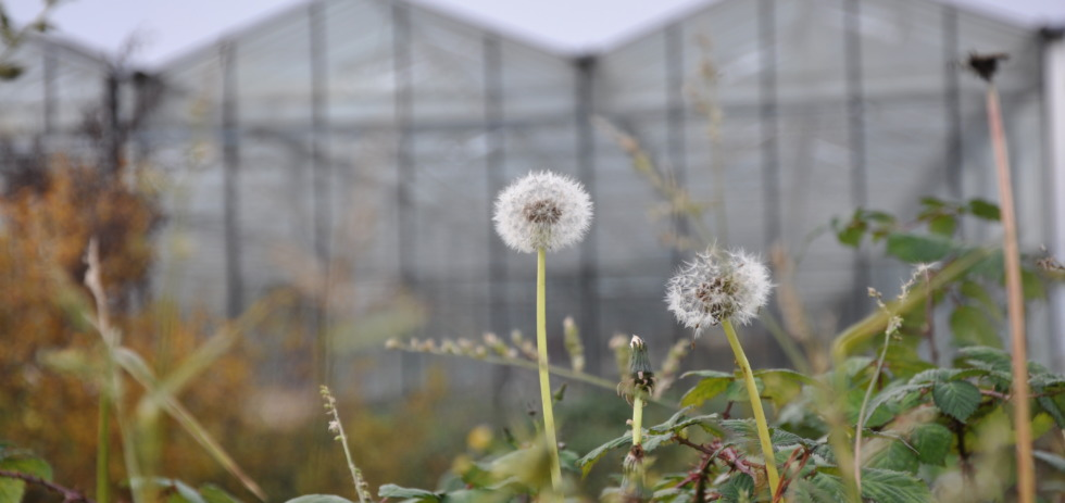 Dandelion in front of greenhouse